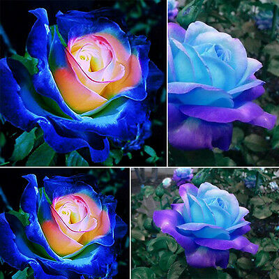 50x Rare Blue Pink Roses Plant Seeds Balcony Garden Potted Rose Flowers Seed New