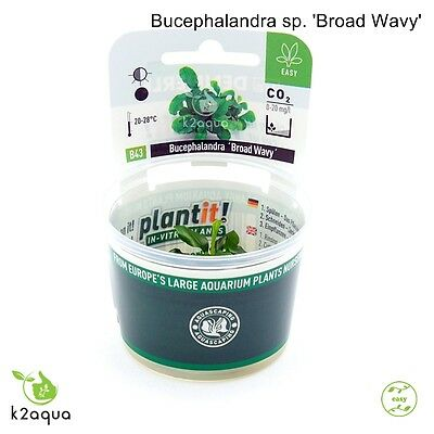 Bucephalandra sp. 'Broad Wavy' InVitro Live Aquarium Plants Tropical Shrimp Safe • EUR 6,44