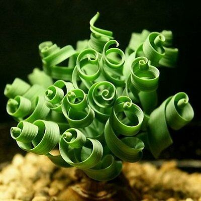 Unique Albuca Namaquensis Spiral Grass Seed 1 Professional Pack, 20 seeds / pack