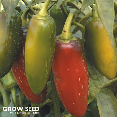 Jalapeno Chilli Pepper Seeds - 25 Seeds SOW ON HEAT NOW