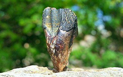 REAL Dinosaur Tooth - TRICERATOPS from the USA [FS9166]