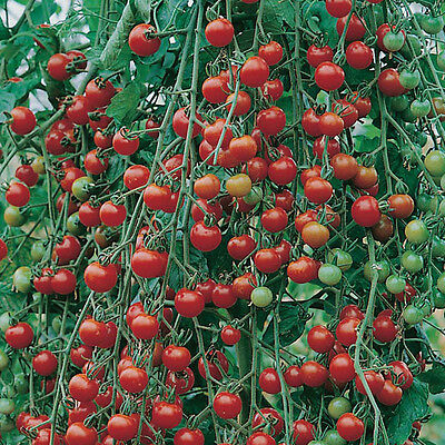 Sweet Million F1 Cherry Tomato - 20 Seeds (Vegetable/Fruit/Plant)