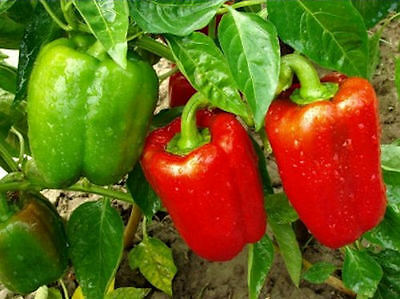 Sweet Bell Pepper - 20 Seeds (Vegetable/Fruit/Plant)