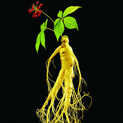 PROMO! Panax Ginseng Seeds,Medicinal Herb Seeds, Seed Vegetables Plants - 20 pcs