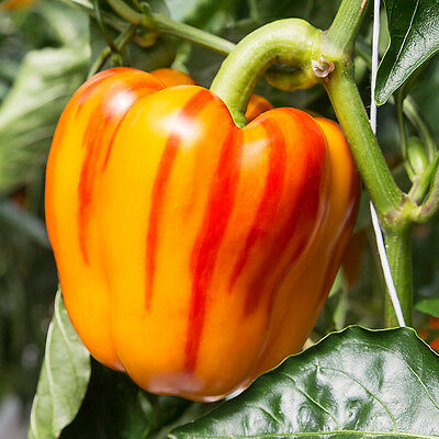 Striped Bell Pepper - 10 Seeds (Vegetable/Fruit/Plant)