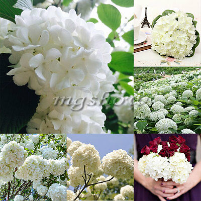 20Pcs Perennial Seeds Home Garden White Hydrangea Seeds Easy to Grow Flower DIY