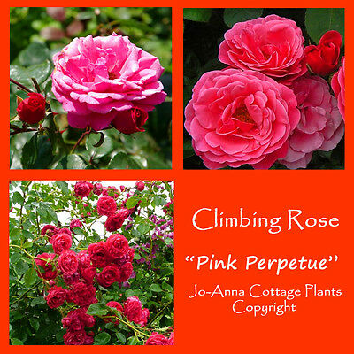 Pink Perpetue Climbing Rose Continual Flower Scented Bare Rooted  ** 4 For 3 **