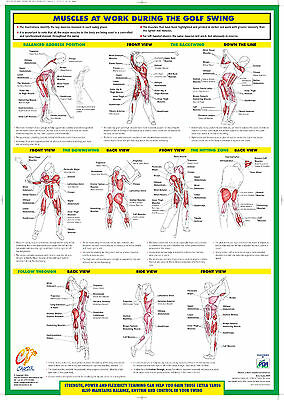 Golf Swing Muscle Anatomy Laminated Chart / Poster