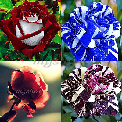 30~250Pcs Rare White Blue Dragon Rose Flower Seeds Garden Plant Bush Garden Hot