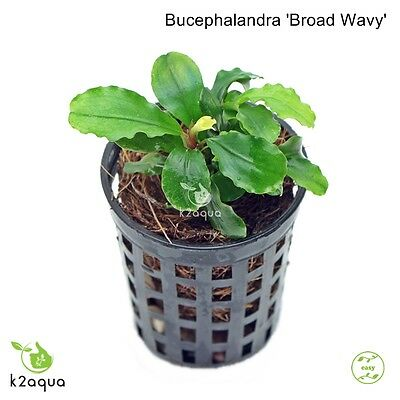 Bucephalandra sp Broad Wavy Live Aquarium Plants Shrimp & Snail Safe Low Tech EU