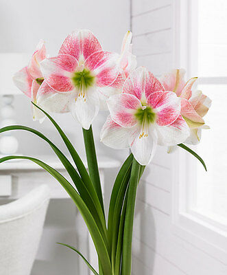 Amaryllis Bulb - ROSY STAR - Hippeastrum - Holiday Blooming - 1 Bulb