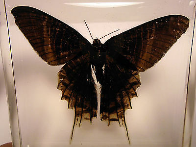 URANIA LEILUS ( Green-banded urania ) Day flying moth embedded in clear resin