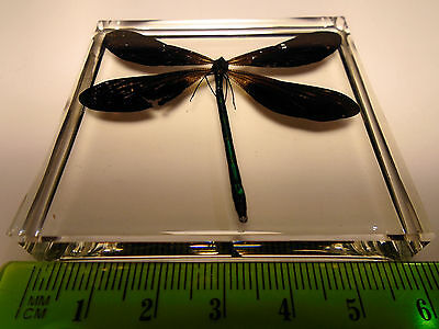 EBONY JEWELWING damselfly. Calopteryx Maculata Crystal clear resin encapsulation