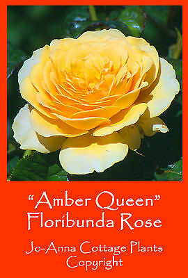 Amber Queen Floribunda Rose Continuous Flowering Bare Rooted  ** 4 For 3 **