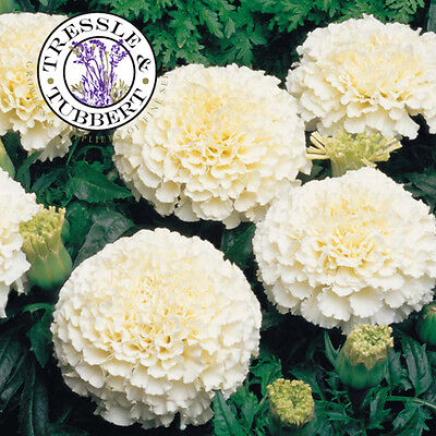 Rare White African Marigolds­­, Annual Flower - 10 seeds - UK SELLER