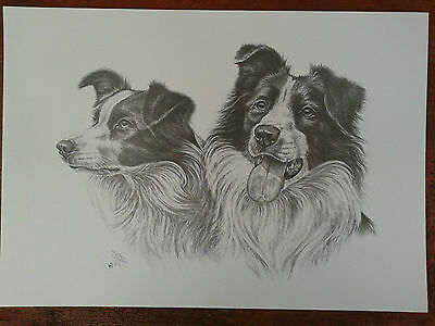 Print of a study of two Border Collies by S. Winterburn
