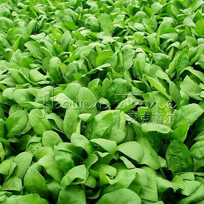Garden Vegetable  400Spinach  Seeds True Delight All Natural & Organic 3
