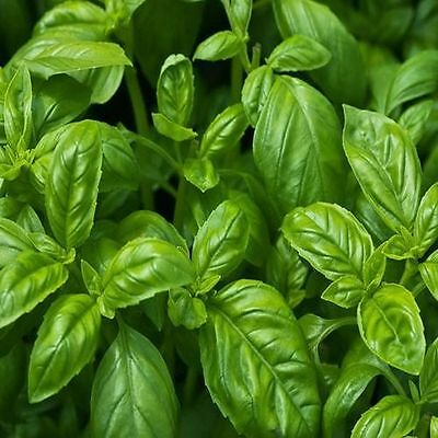 Free Shipping 200 Large Leaf Basil Seeds Blooming Lovely Home Gardeing 3
