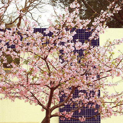 Fragrant 20 JAPANESE CHERRY TREE Seeds Blooming Creative Home Gardening 3