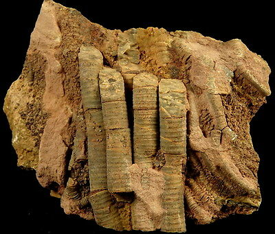 SILURIAN CRINOIDS Scyphocrinites sp. WELL PRESERVED ! Morocco INTERESTING /kt140