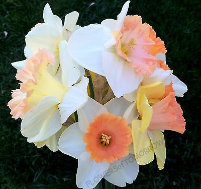 14 Mixed Pink Daffodilnarcissus Bulbshardy Perennial Flowers