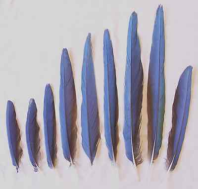 Debbie's Harlequin/Blue + Gold Macaw Tail Feathers(7.75-18.5 Inches)