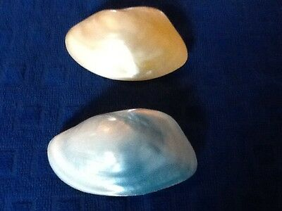X2 shells mother of pearl 3 1/2 X 2 1/4 inches.