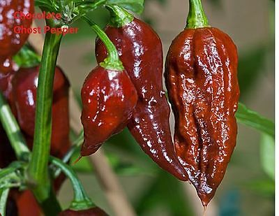 50 seeds Chocolate Brown Bhut Jolokia Ghost Pepper Guiness World Record Hot RARE