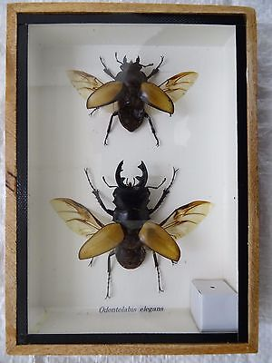 Orange Stag Beetle Pair - Mounted In Wooden Box - Taxidermy Insect Wings