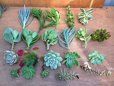 25X Mixed succulent Cuttings **FREE POSTAGE** Echeveria, Sempervivum, Crassula