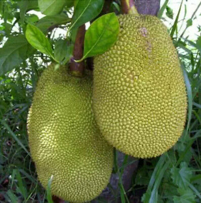 2 Jackfruit Seeds NON-GMO All Natural Vegetable Fruit Variety