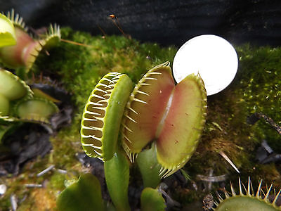 70 Venus flytrap carnivorous plant seeds, your choice of 47 clones or crosses