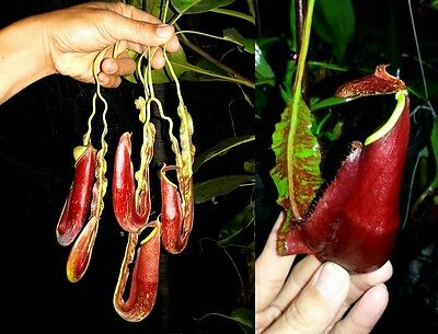 Carnivorous plant, Nepenthes Mirabilis Wing seeds!! (15 healthy seeds per pack)