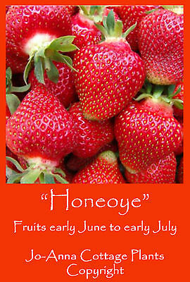 5 x STRAWBERRY PLANTS HONEOYE (EARLY CROP) *** BUY ANY 4 SETS FOR PRICE OF 3 ***