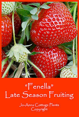 5 x STRAWBERRY PLANTS FENELLA (LATE CROP) *** BUY ANY 4 SETS FOR PRICE OF 3 ***