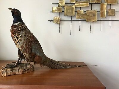 Vintage Standing Ring-Neck Pheasant Bird Mounted On Wood Taxidermy OUTSTANDING