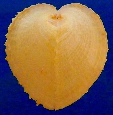 00188 Seashells Corculum cardissa, bright yellow, 47.7 mm