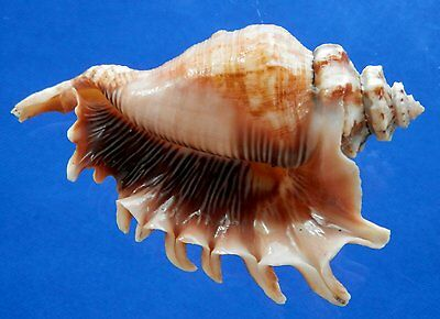01327 Seashells Lambis millepeda, FREAK, 117.5 mm