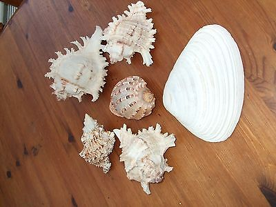 Collection Of Six Pretty Sea Shells.mixed Lot.