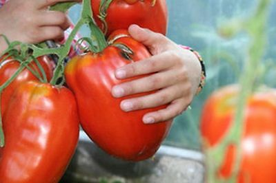 25 GIANT BEEF TOMATO SEEDS TOMATOE MONSTER, BIG, LARGE  very bigL xlxlxlxlxlxlx