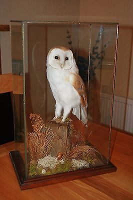Taxidermy - Barn Owl - With A10 Certificate - Bird Of Prey - Glass Case Mounted