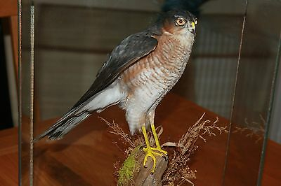 Taxidermy Sparrowhawk - With A10 Certificate - Bird Of Prey - Glass Case Mounted