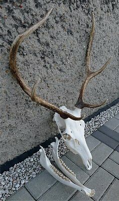 Red Deer Stag Antlers With Skull Upper Lower Jaw Taxidermy Collectible Hunting
