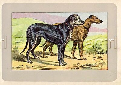 DOG Scottish Deerhound, Rare Antique 100-Year-Old French Dog Print