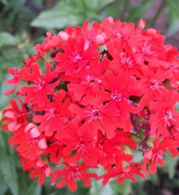 Lychnis chalcedonica seeds approx. 100-200 Beautiful Perennial