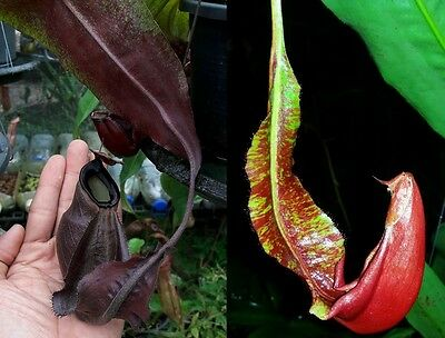 Nepenthes WING, carnivorous plant!! interesting cross