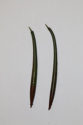 Rhizophora mangle - mangrove seeds - mangrovia rossa - rhizophora  - aquarium