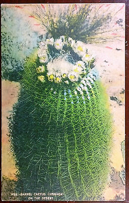 1951 Postcard Barrel Cactus (Visnaga) on the Desert