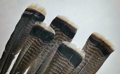12 - #2 Merriam's Turkey Tail Feathers -Great Quality 4 Craft, Painting Fly Mat.