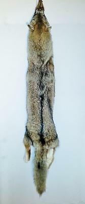 """XL Northern Coyote Hide #1 45"""" NTB - Super Quality-Heavy Winter Fur-Great Color"""